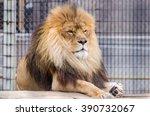 Lazy Lion Male