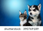 Stock photo cat and dog maine coon siberian husky looks at left 390769189