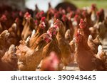 closeup of a red chickens on a... | Shutterstock . vector #390943465