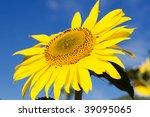 Light yellow sunflower on field - stock photo