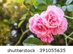 fresh pink english roses in a... | Shutterstock . vector #391055635