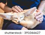 Fennec Fox Sleeping On A Woman...