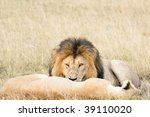 Wakeful African Lion Stare...