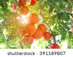 ripe tomatoes natural | Shutterstock . vector #391189807