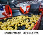 potato sorting  processing and... | Shutterstock . vector #391216495