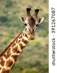 giraffe kenya masai mara africa | Shutterstock . vector #391267087