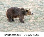 The Grizzly Bear  While On The...