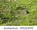 Small photo of A dainty yellow-rumped thornbill (Acanthiza chrysorrhoa) a species of passerine bird from the genus Acanthiza stands on the grass near the path in Big Swamp parkland Bunbury Western Australia .
