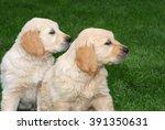 two golden retriever puppies... | Shutterstock . vector #391350631