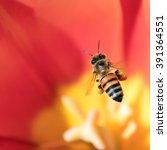 Honeybee With Pollen Basket...