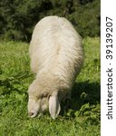 An adult sheep - stock photo