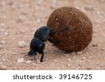 Rare Dung Beetle From Addo In...
