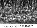 Deer Flock In Forest Black And...