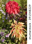 Small photo of Two coleus of red and yellow colours on flowerbed