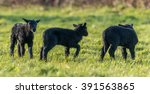 Three Black Lambs Playing In A...