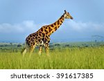 Walking Rothschild's Giraffe A...