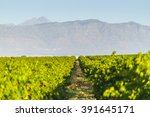 Grape Vineyard Landscape With...