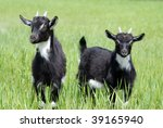 Goat Kids On Pasture In Summer