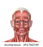 male face muscles anatomy... | Shutterstock . vector #391760749