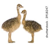 Ostrich Chick In Front Of A...