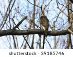 Small photo of Sharp-shinned Hawk (Accipiter striatus velox) on branch in Central Park, New York City