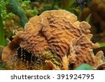Small photo of Underwater marine life, thin leaf lettuce coral, Agaricia tenuifolia, close-up, Caribbean sea
