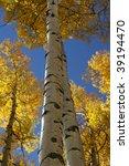 vertical aspen trunks with fall ... | Shutterstock . vector #39194470
