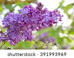 Blossoming Syringa Vulgaris In...