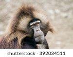 Portrait Gelada  Big Baboon