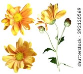 Yellow Chrysanthemum On A Whit...
