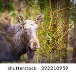 moose portrait. wild european... | Shutterstock . vector #392210959
