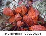 Small photo of Arctic tundra plants (ptarmigan-berry, bearberry, arctous, Arctostaphylos alpina) among lichen tundra - polar bald mountain, mountain tundra, alpine tundra, macro shooting, summer. Kola peninsula