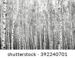 Birch forest  black white photo