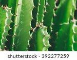 Green Cactus Closeup. Green Sa...