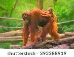 young orangutan is sleeping on... | Shutterstock . vector #392388919