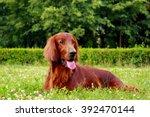 Red Dog Irish Setter In Summer  ...