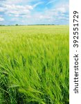 Small photo of Field of green summer barley in upright format; Agrarian landscape; Cereal production in North Germany