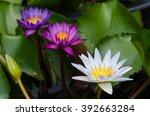 The Three Color Lotus