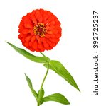 red zinnia flowers ... | Shutterstock . vector #392725237