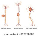 neuron types  cells that is the ...