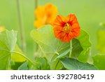 Blooming Nasturtium Flower