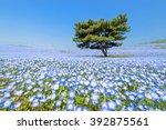 Nemophila  Flower Field At...