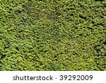 Box Hedge With Green Leafs