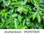 flower buds of the black elder  ...   Shutterstock . vector #392937835
