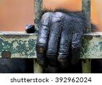Chimpanzee Hand