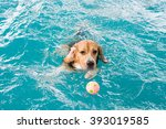 young beagle dog swimming in... | Shutterstock . vector #393019585