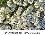 Small photo of Alyssum maritimum, white flowers background