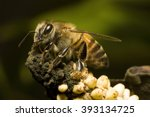 Small photo of Africanized bee in a decaying Anthurium Andraeanum