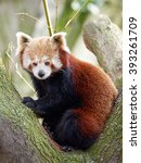 Small photo of Red panda (Ailurus fulgens) resting in a tree in its habitat