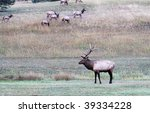 Elk stag with females in background - stock photo